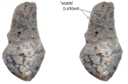 Fig. 16: Silicified limestone ('bluestone') from Mesolithic site at Daer Reservoir